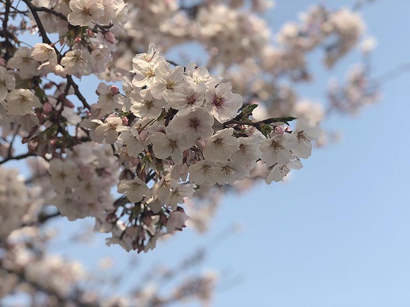 花見日和。